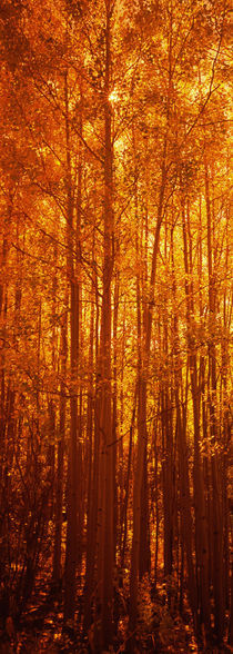 Aspen trees at sunrise in autumn, Colorado, USA by Panoramic Images