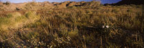 Grass in a field, Anza Borrego Desert State Park, California, USA by Panoramic Images