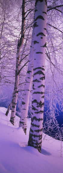 Birch trees at the frozen riverside, Vuoksi River, Imatra, Finland by Panoramic Images
