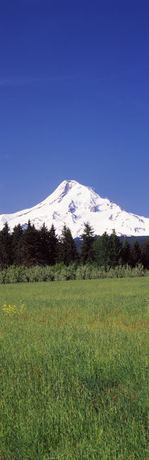 Field with a snowcapped mountain in the background, Mt Hood, Oregon, USA by Panoramic Images
