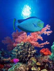 Vlamings unicornfish and Squarespot anthias with soft corals in the ocean by Panoramic Images
