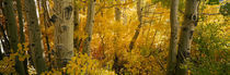 Aspen trees in a forest, Californian Sierra Nevada, California, USA von Panoramic Images