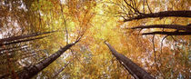 Low angle view of trees, Bavaria, Germany by Panoramic Images