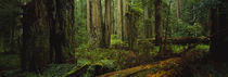 Trees in a forest, Hoh Rainforest, Olympic National Park, Washington State, USA von Panoramic Images
