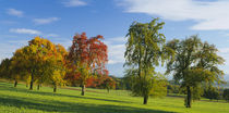 Low angle view of pear trees on a field, Aargau, Switzerland by Panoramic Images