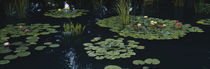 Water lilies in a pond, Denver Botanic Gardens, Denver, Colorado, USA by Panoramic Images