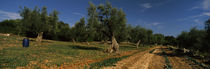 Dirt road passing through a field, Itria Valley, Puglia, Italy by Panoramic Images