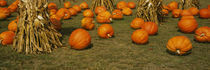 Corn plants with pumpkins in a field, South Dakota, USA by Panoramic Images