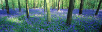 Bluebells in a forest, Charfield, Gloucestershire, England von Panoramic Images