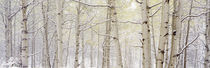 Autumn Aspens With Snow, Colorado, USA von Panoramic Images