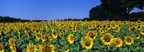 Sunflowers In A Field, Provence, France von Panoramic Images