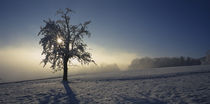 Pear tree on a snow covered landscape, Aargau, Switzerland by Panoramic Images