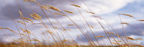 Wheat Stalks Blowing, Crops, Field, Open Space von Panoramic Images