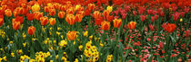 Tulips in a field, St. James's Park, City Of Westminster, London, England by Panoramic Images