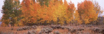Forest, Jackson, Jackson Hole, Teton County, Wyoming, USA by Panoramic Images