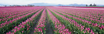 Tulip Fields, Skagit County, Washington State, USA by Panoramic Images