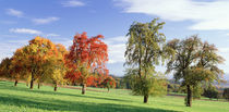 Switzerland, pear orchard , autumn by Panoramic Images