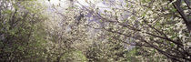 Dogwood trees blooming in a forest, Yosemite National Park, California, USA by Panoramic Images