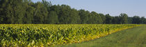 Crop of tobacco in a field, Winchester, Kentucky, USA von Panoramic Images