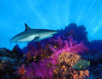 Caribbean Reef shark (Carcharhinus perezi) and Soft corals in the ocean by Panoramic Images
