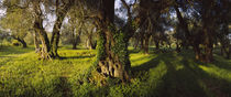 Olive trees on a landscape, Corfu, Ionian Islands, Greece by Panoramic Images