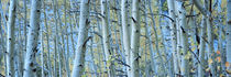 Aspen trees in a forest, Rock Creek Lake, California, USA by Panoramic Images