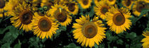 Sunflowers ND USA von Panoramic Images
