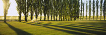 Poplar Trees Near A Wheat Field, Twin Falls, Idaho, USA by Panoramic Images