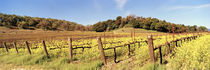 Mustard flowers in a field, Napa Valley, California, USA von Panoramic Images