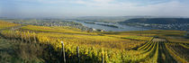 Vineyards near a town, Rudesheim, Rheingau, Germany von Panoramic Images
