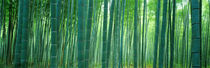 Bamboo Forest, Sagano, Kyoto, Japan von Panoramic Images