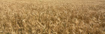 Wheat crop in a field, Otter Tail County, Minnesota, USA by Panoramic Images