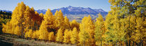 Fall Aspen Trees Telluride CO by Panoramic Images