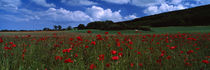 Flowers On A Field, Staxton, North Yorkshire, England, United Kingdom by Panoramic Images