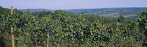 Bunch of grapes in a vineyard, Finger Lakes region, New York State, USA by Panoramic Images