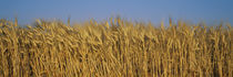 Field Of Wheat, France von Panoramic Images