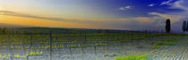 Vines in a vineyard, Val D'Orcia, Siena Province, Tuscany, Italy by Panoramic Images