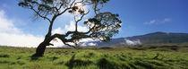 Koa Tree On A Landscape, Mauna Kea, Big Island, Hawaii, USA von Panoramic Images