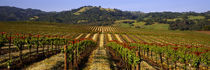 Vineyard, Geyserville, California, USA by Panoramic Images