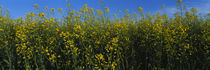 Canola flowers in a field, Edmonton, Alberta, Canada by Panoramic Images