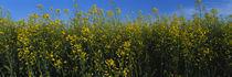 Canola flowers in a field, Edmonton, Alberta, Canada von Panoramic Images