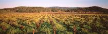 Panorama Print - Reihen von Reben in einem Weinberg Kalifornien, USA von Panoramic Images
