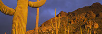 Saguaro Cactus, Tucson, Arizona, USA von Panoramic Images
