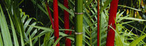 Panorama Print - Nahaufnahme von Bambusstämmen, Hawaii, USA von Panoramic Images