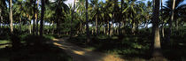 Palm trees in a forest, Watamu, Coast Province, Kenya von Panoramic Images