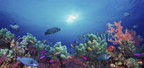 School of fish swimming near a reef, Indo-Pacific Ocean von Panoramic Images