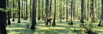 Cypress trees in a forest, Shawnee National Forest, Illinois, USA von Panoramic Images