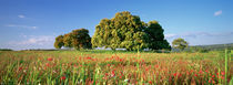 Flowers in a field, Andalusia, Spain by Panoramic Images