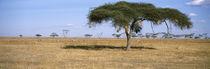 Serengeti National Park, Tanzania von Panoramic Images