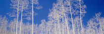Low angle view of aspen trees in a forest, Utah, USA von Panoramic Images